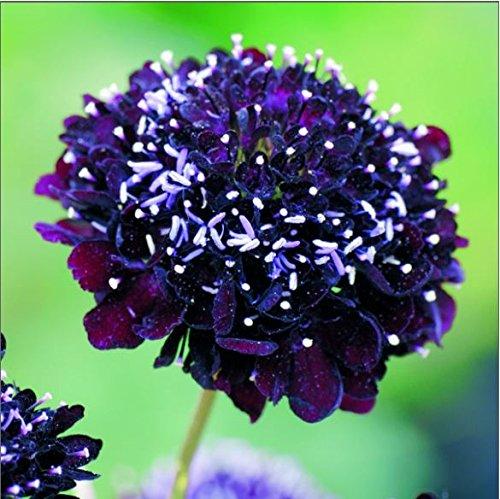 Kings Seeds Bild Paket Scabiosa Wolfsmilch Black Knight 100 Samen (Samen Wolfsmilch)