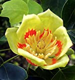 Liriodendron tulipifera - Liriodendro - Semi (10)