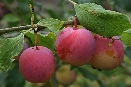 dwarf-patio-plum-opal-fruit-tree-for-pots-or-small-gardens
