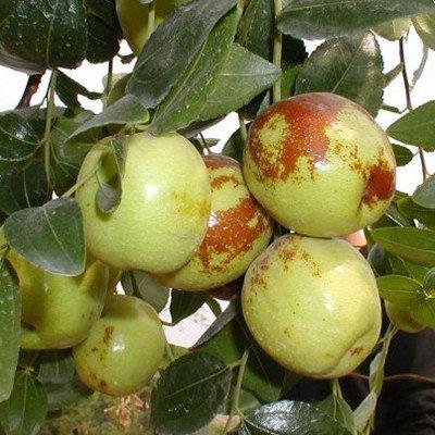 10-semi-pacchetto-rosso-seme-giuggiola-in-cina-dolce-salute-rete-professionale-vento-piantare-alberi