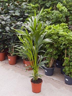 Kentiapalme, Howea forsteriana, ca. 120 cm, große Zimmerpalme, 21 cm Topf