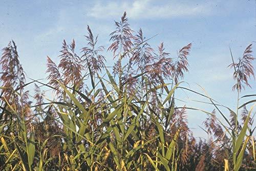 Samen Paket: 9 cm: (ilfrohr, Norfolk Reed oder) - Margin