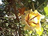 Portal Cool ???? Solandra Maxima - 2 Steckel Totale (Hawaiano Lily, Golden Calice Vite) Raramente