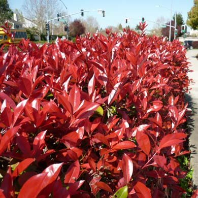 5-x-photinia-red-robin-20-30cm-in-9cm-pot-a279