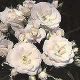 'Aspirin-Rose' -R-, Rosen-Halbstamm im Container, ADR-Rose