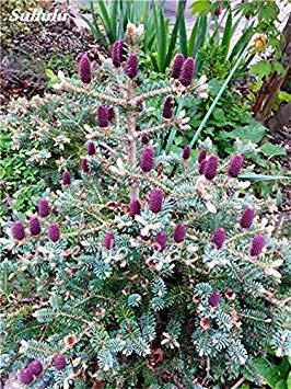 GEOPONICS 22: Abies Samen, kor Tanne, Nordmannstanne (Weihnachten Samen, Conifer) Samen Samen. Haus-Garten Bonsai Samen, Blumensamen 100 PC-22