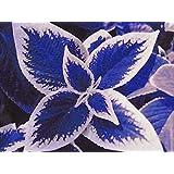 ScoutSeed Plantas de coleo Azul Plantas con Flores Hermosas En Maceta Ponsai Balcã³n Hechizo Color