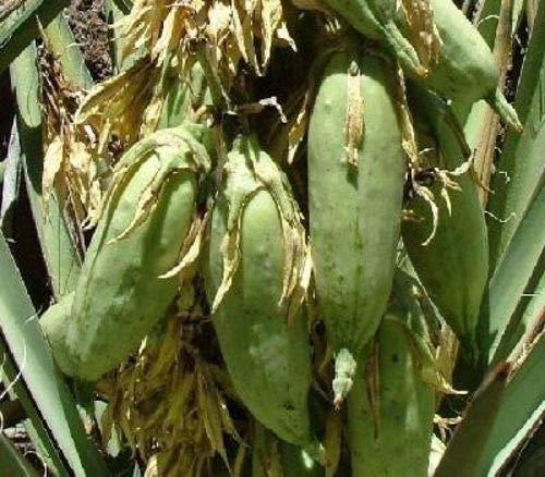 PLAT FIRM GERMINATIONSAMEN: Die schmutzigen Gardener Baccata Banana Yuccas, 50 Samen