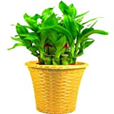 Trust Basket Lucky Bamboo with Yellow Planter