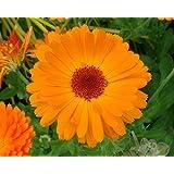 Asklepios-seeds® - 500 Semillas de Calendula officinalis Calendula officinalis, caléndula, botón de oro, mercadela, maravilla
