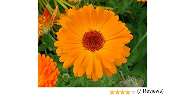 Calendula officinalis Nova Souci officinal 500 graines Fleur