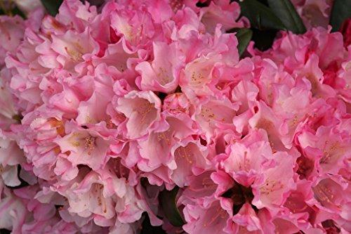 Rhododendron Kalinka Rhododendron yakushimanum Kalinka Containerware 30-40 cm