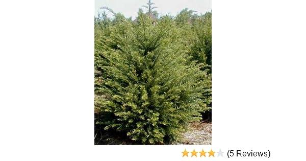 Becher Eibe Taxus media Hicksii 30-40 cm hoch mit 3 Liter Pflanzecontainer