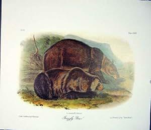 Copie d'Antiquité de Couleur d'Audubon de Quadrupède d'Ours Gris Vieille