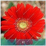 ZLKING 100 PC / Satz 2 bunte Gerbera-Blumensamen Hoch Keimungrate Rasantes Wachstum Chrysanthemum Seeds Für Hausgarten Bonsai