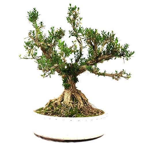 Bonsai, Buchsbaum, Buxus harlandii, 30 Jahre, 40 cm Höhe