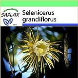SAFLAX - Garden to Go - Kakteen - Königin der Nacht - 40 Samen - Selenicerus grandiflorus
