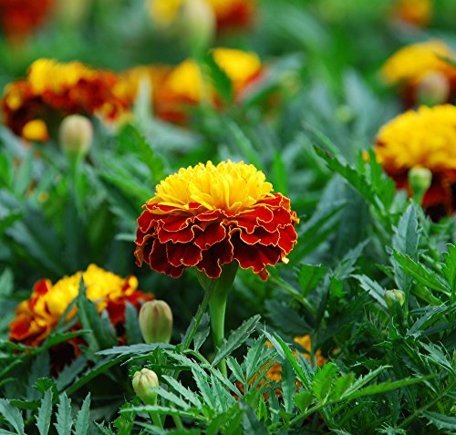 Semi di Arance Marigold Flame - Tagetes patula nana - 350 semi - 350 semi