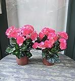 Künstliche Begonien im Topf, 2 Stück mit rötlichen Blüten