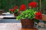 Semi di geranio rosso - Pelargonium