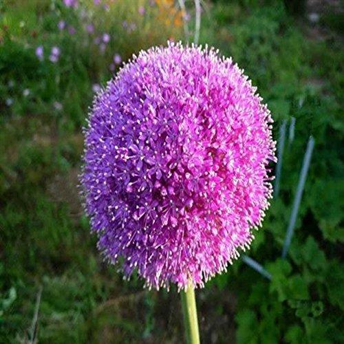 Wingbind 25 pcs/pack Purple Géant Oignon Allium Giganteum Graines à Cultiver, Graines De Fleurs Plantes Graines Maison En Plein Air Jardin Bonsai Plante