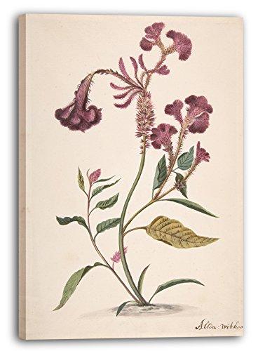 Printed Paintings Leinwand (80x120cm): Alida Withoos - Studie Eines Hanekam (Celosia argentea)