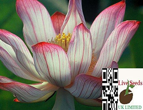 bi-farbe-rot-und-weiss-bonsai-lotus-wasser-lily-blume-bowl-pond5-frische-samen-camellia