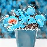 50pcs Blau Zeit Topfpflanzen Samen Dionaea muscipula GIANT CLIP Venusfliegenfalle verwandeln Samen Fleischfressende Pflanze DIY Home Garden 1