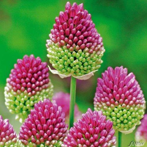 Allium Bicolor- 25 Zwiebeln Zierlauch/Kugellauch - Blumenzwiebeln zum Pflanzen und Verwildern, lila Blüten, mehrjährig, winterhart von Garten Schlüter