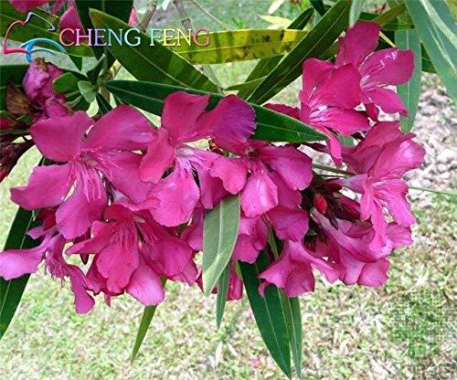 arancia: big promtion 100 semi di nerium oleandro piantare in vaso stagioni piante da fiore semi facili da coltivare balcone decorazione del giardino