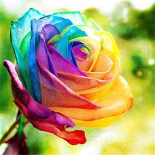 Keland Garten - 20 Stück Selten Regenbogen Parfum-Rose Samen Blumensamen winterhart mehrjährig, Kletter-Rose geeignet für Balkon, Terasse, Topf, Garten