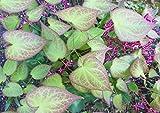 Bodendecker, 5x Elfenblume