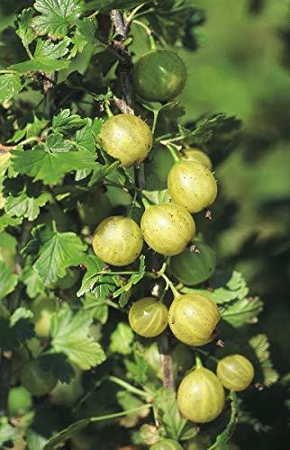 Stachelbeeren Hochstamm Easycrisp® Lady Sun (dornenlos) - Kräftiger Hochstamm im 5 lt-Topf