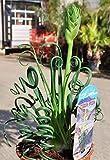 Yukio Samenhaus - Selten Albuca spiralis 50/100Stück Grasssamen Albuca Frizzle Sizzle Saatgut Stiftblume (50 Stück)