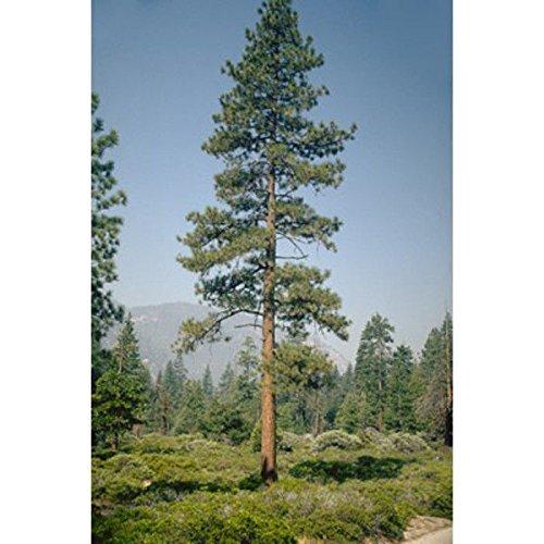 100 Samen: Jeffrey Kiefer Samen, Pinus jeffreyi (Pine Tree Jeffrey)