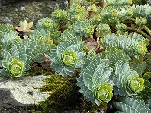 Portal Cool Walzen-Wolfsmilch, Myrtle Spurge 10 Samen, zäh und sehr ornamental (Samen Wolfsmilch)