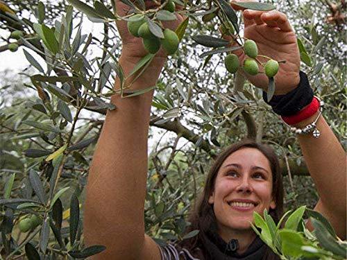 PLAT FIRM KEIM SEEDS: 6pcs: Kaufen Olea Europaea Baumsamen Pflanze Oliven-Baum für olivaris Obst Gan Lan