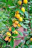 Fruchtbengel