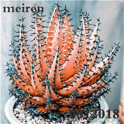 Plentree Pacchetto semi: 100 pezzi Succulente Aloe Bonsai Rare Polyphylla rotazione Aloe Vera regina Bonsai Piante grasse per la casa e amp; Giardino: 12