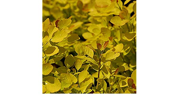 Cotinus Coggygria Golden Spirit Arbre /à perruque Golden Spirit/® 40-60 cm en conteneur
