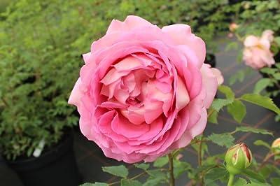 Englische Rose Jubilee Celebration ® Aushunter ® Containerrosen im großen 7,5 Liter Topf von Gartencenter Bartels auf Du und dein Garten