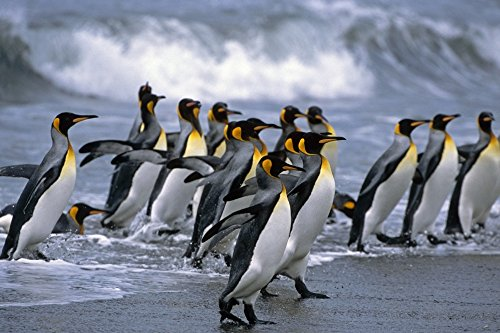tom-soucek-design-pics-group-of-king-penguins-walking-in-surf-on-beach-south-georgia-island-antarcti