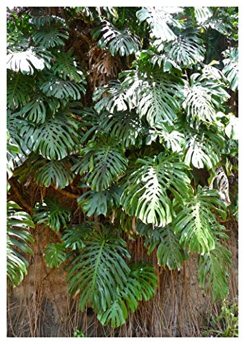 TROPICA - Köstliches Fensterblatt (Monstera deliciosa) - 4 Samen