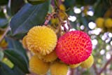 Erdbeerbaum arbutus unedo, essbare Früchte, Erdbeeren, 10 frische Samen EXOTISCH