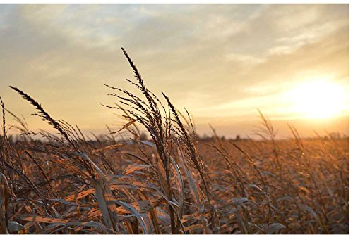 Zopix Poster Sonnenuntergang Mittelwesten Mais Wandbild - Premium (70x50 cm, Versch. Größen) - Leinwand Alternative - Inklusive Poster-Stripes