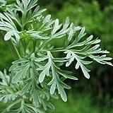 Artemisia absinthium - Wormwood - Spg - Semi