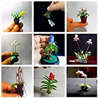 Seeds,Catkoo 100PCS Rare Mini Orchid Seeds Seed Flower Phalaenopsis Indoor Miniature Garden