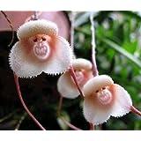 Exotic Plants scimmia faccia orchidea - - 50 semi