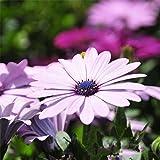 100seeds Topfblumen Gerbera Chrysantheme Samen Balkon Bonsai Pflanzen für Garten und Haus Vier Jahreszeiten leicht zu pflanzen 6 zu wachsen Gerbera