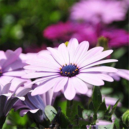 100seeds fiori in vaso gerbera semi crisantemo balcone bonsai impianto per garden & home four seasons piantare facile da coltivare gerbera 6
